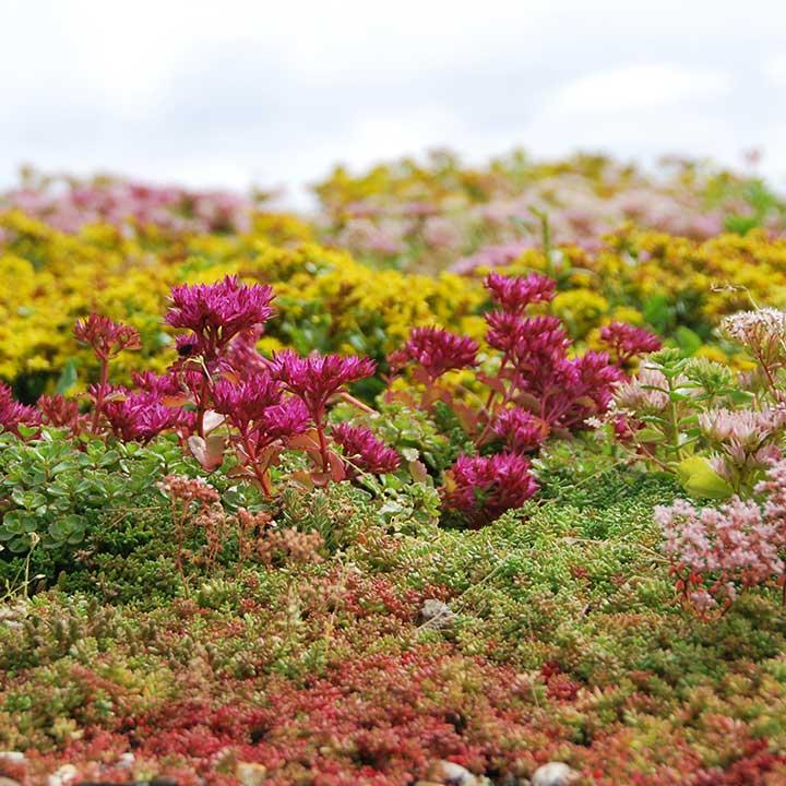 extensief groendak biodiversiteit sedummatten