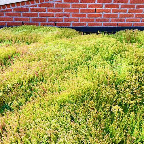 Sedum dak in bloei lichtgewicht voorbeeld